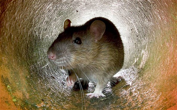 Rat-in-a-Sewer